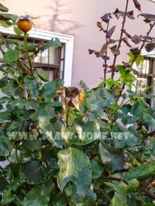 Tohumluk Gül bitkisi