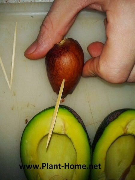Avokado tohumu yetiştirme