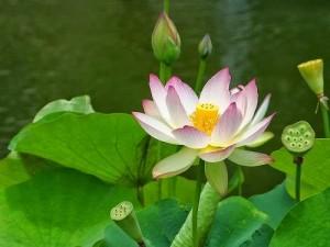 Lotus Nilüfer Tohumu Çimlendirme yetiştirme nasıl yapılır