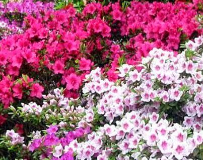 Açelya Çiçeği hakkında gniş bilgiler yetiştirme bilgilerin