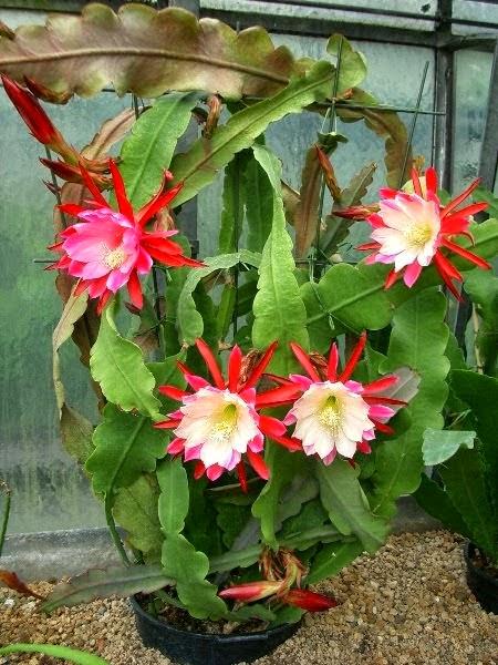 Atlas Çiçeği nasıl bakım yapılır, su ihtiyaçı iklim koşulları, yetiştirme, çelikten yetiştirme