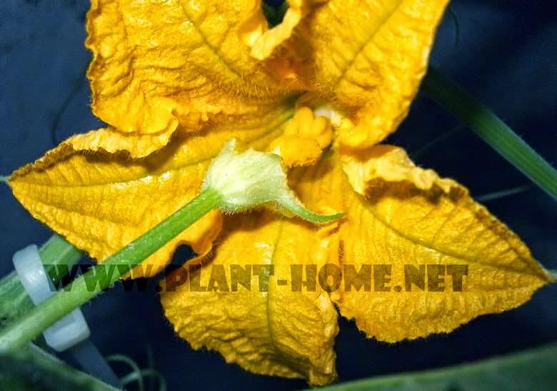 Balkabağı erkek dişi çiçek polenleme dolleme işlemi yapay nasıl yapılır