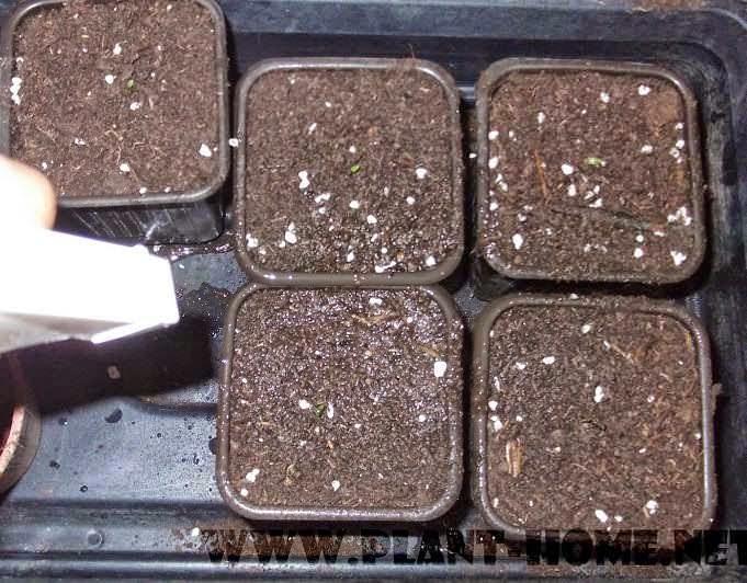 Ejder meyve tohumu yetiştirme