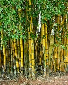 Bambusa vulgaris (Altın Bambu) Bambu buğdaygiller familyasına ait ve 1.200 adet türü vardır
