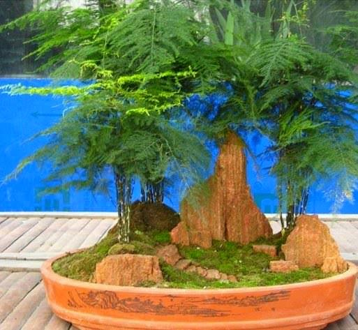 Kuşkonmaz Asparagus Setaceus (Asparagus Setose) Çok yıllık bir bitkisidir.