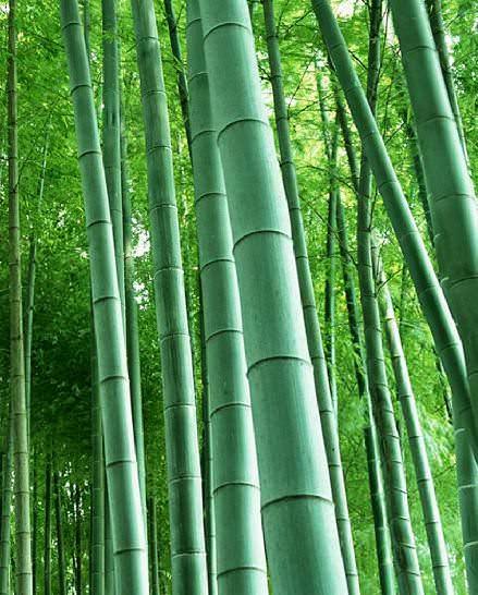Dev Bambu Phyllostachys edulis (Giant moso bamboo) dev bambu