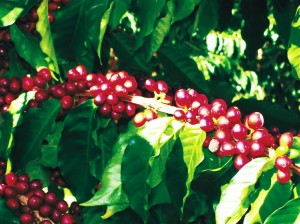 Kahve Tohumu Çimlendirme