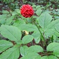 Ginseng Tohumu Çimlendirme | Ücretsiz tohum