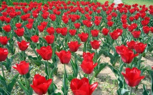 En Güzel Çiçek Resimler