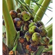 Borassus flabellifer olgunlaşmış meyvesi Çiğ, haşlanmış veya kavrulmuş olarak yenebilir.