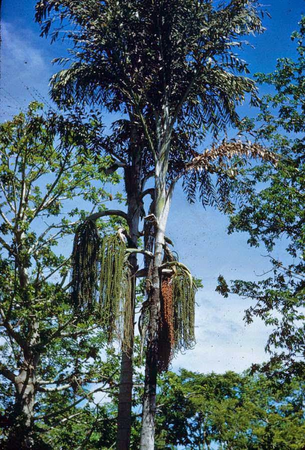 Caryota urens (yalnız fishtail palmiye)