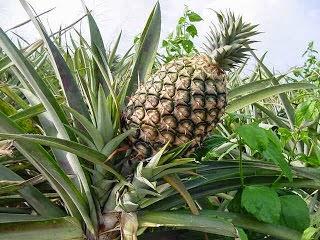 Ananas, ananasgiller (Bromeliaceae) familyasından sıcak ülkelerde yetişen bitki ve onun meyvesi. Anayurdu Güney Amerika'dır.