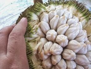 Artocarpus odoratissimus meyvesinin güçlü bir kokusu vardır. jackfruit ve cempedak arasında en lezzet üstün olarak kabul edilir.