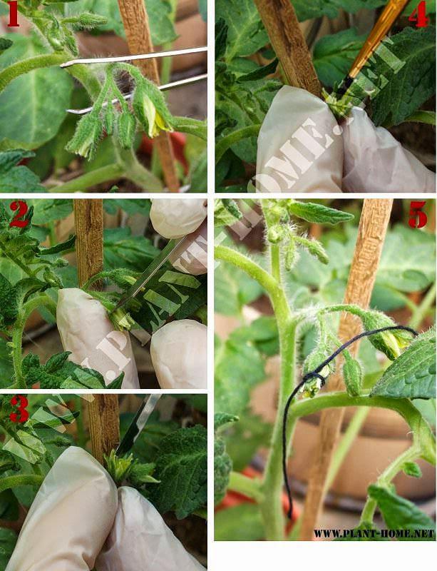 Domates Çiçeğini Yapay Dölleme