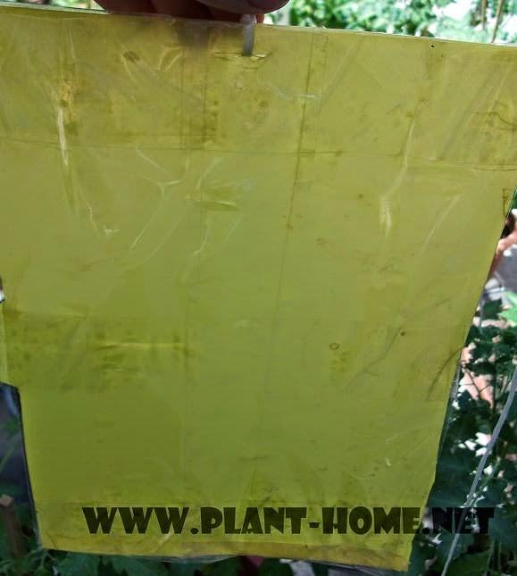 Sarı Yapışkan Tuzak Yapımı