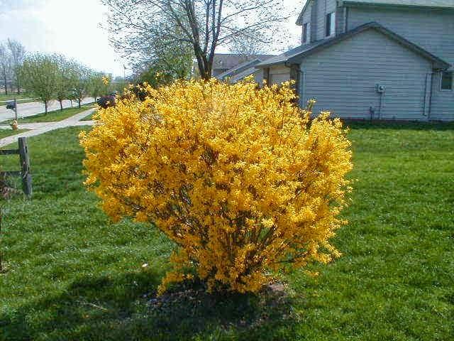 Altın Çanak Çiçeği, Forsythia nasıl bakım yapılır, su ihtiyaçı iklim koşulları, yetiştirme,