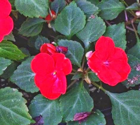 Cam Güzeli Çiçeği, nasıl bakım yapılır, su ihtiyaç,ı iklim koşulları, yetiştirme,