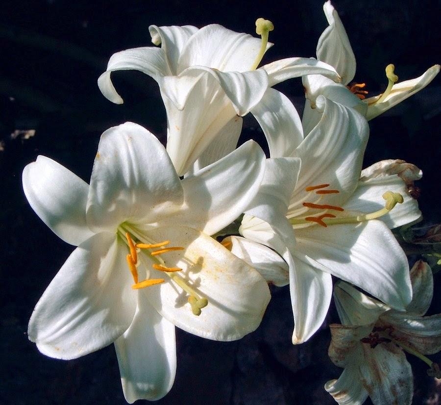 Zambak Çiçeği Yetiştirme