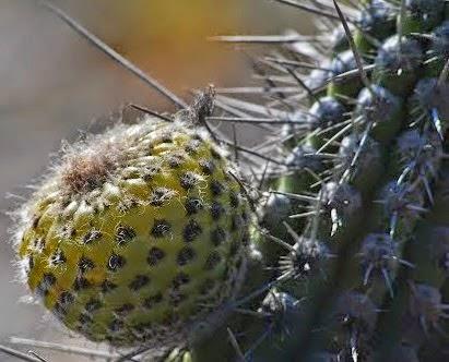 Copao Meyvesi Copao Şilide yetişen Endemik bir türdür. Sıcaklıklara ve kuraklıklara dayanabilir.