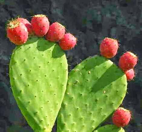 Hint İnciri diğer adları Frenk inciri, dikenli İncir, kaktüs meyvesi, kaynanadili dir.