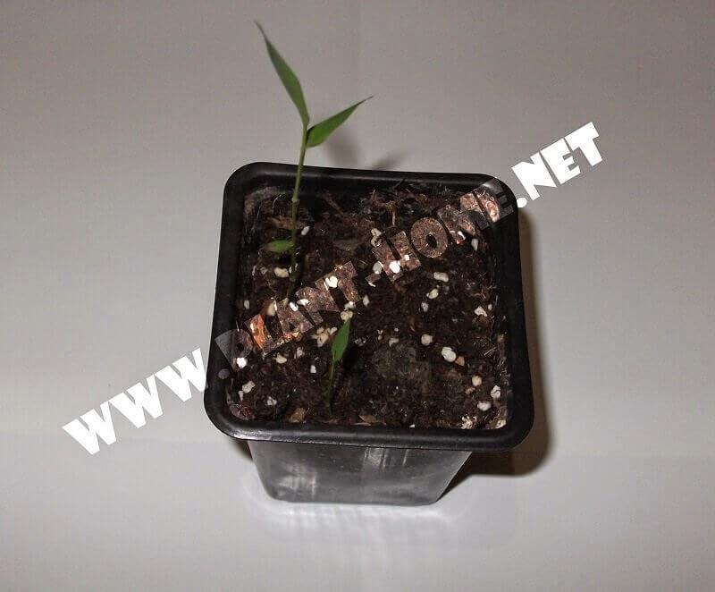 Bambu tohumu çimlendirme bambu tohumdan fide yetiştirme