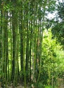 Bambu- Bambusa oldhamii (Dev Ahşap Bambu)