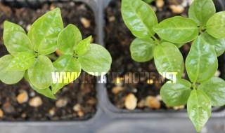 Çarkıfelek Meyve (Passiflora) Tohumu yetiştirme Çarkıfelek Meyve fide