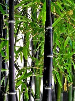 Phyllostachys Nigra (Siyah Bambu) Kışa dayanıklı (soğuk ve dona karşı dayanıklı)