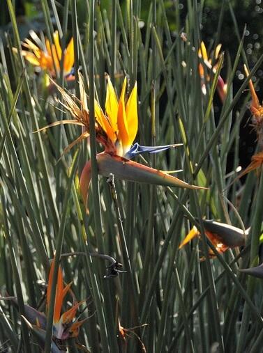 cüce starlice bitkisi hakkında yetiştirme tohum çimlendirme bakım