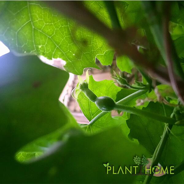Trichosanthes Kirilowii Meyve'ye Dönüşüyor