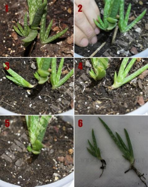 Aloe vera üretimi çoğaltma - Anaç Aloe vera'dan nasıl ayrılır?