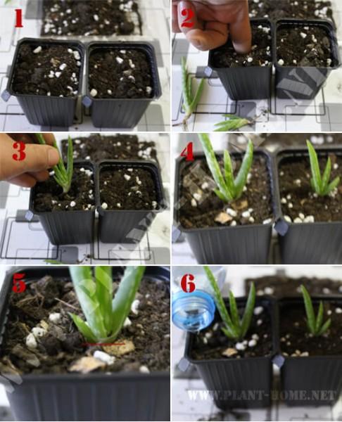 aloe vera çoğaltma üretme - Yavru Aloe Vera Nasıl Ekilir?
