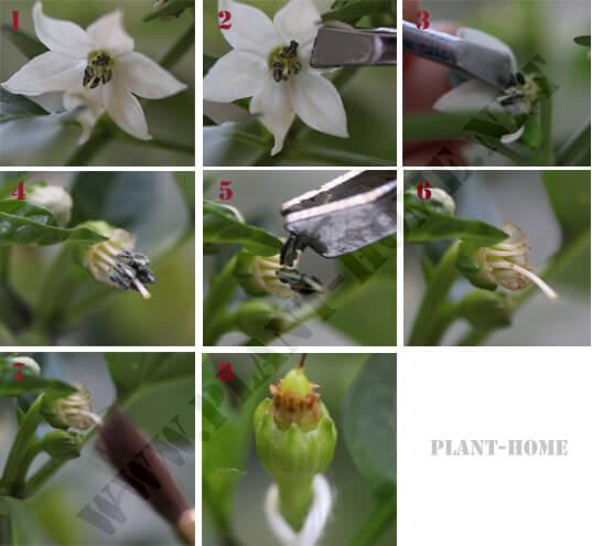 yapay el ile biber çiçeği polenleme işlemi