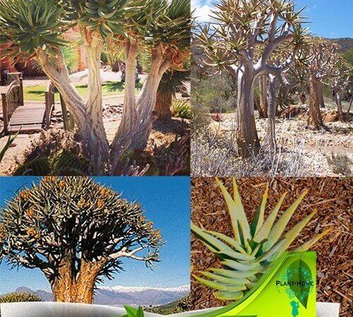 Şifalı Bitki Aloe Vera ve Türleri