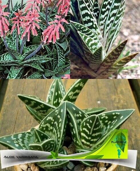 Aloe vera bitkisi. Eşsiz yaprakların iyileştirici özellikleri