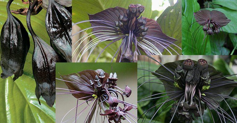 İlginç Bitki Çinli Siyah Yarasa Çiçeği